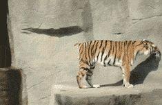 Hey Tiger, BOO! Heh heh heh.