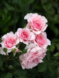 Floribunda Rose: Rosa 'Mimi Pink' (U.S., 1984)