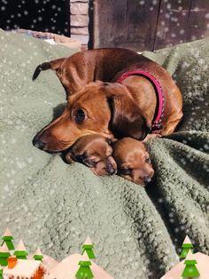 Dachshund mom & her puppies Dachshund Funny, Dachshund Puppies, Weenie Dogs, Cute Puppies, Dogs And Puppies, Dachshund Clothes, Dapple Dachshund, Dachshund Gifts, Daschund