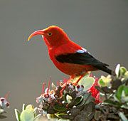 hawaiian birds | The Iiwi bird, an endemic Hawaiian honeycreeper and is found on all of ...