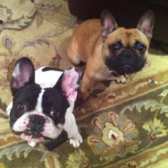 Funny Frenchie faces!  I love them!