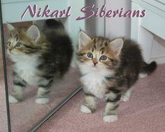 Nikarl Siberian Kitten from 2013-2014, Ikebana and Chuko.