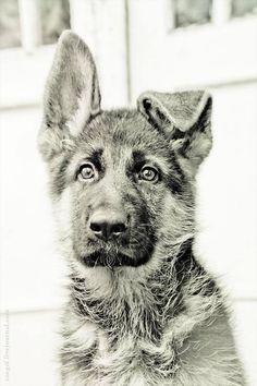 Looks like my little Kaiser... floppy ear and all!