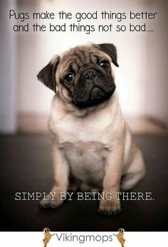 cute pug puppies Hit That Share Button To Motivate Your Friends & Family Cute Pug Puppies, Cute Pugs, Doggies, Bulldog Puppies, Funny Pugs, Terrier Puppies, Lab Puppies, Boston Terrier, Pug Quotes