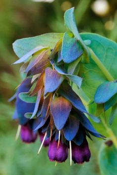 Cerinthe Major Purpurescens - Known as the Blue Wax Flower, Blue Shrimp Plant or the Blue Honeywort, Cerinthe comes from the Greek word keros???wax, and anthos???a flower. This plant has been considered an important nectar source for honeybees and other insects. The Cerinthe genus is originally from the Mediterranean region.