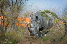 """A large male rhino appears over the dam wall as the sun sets, slowly making his way to the water for a drink before continuing on his patrol. <a href=""""http://www.brendoncremer.com/photographic-safaris#.U_MXFoCSyw8"""">PHOTO SAFARIS</a> 