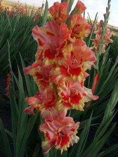 allemangladiolus   General Listing