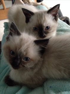 Chocolate seal point ragdoll kittens