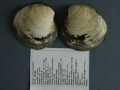 Datado el animal más viejo del planeta, 507 años Se acaba de estimar la edad real de la almeja Ming, el bivalvo encontrado en 2006 en Islan...