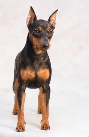 Miniature Pincher...will be our next dog to get along with two rottweilers. What fun!!!