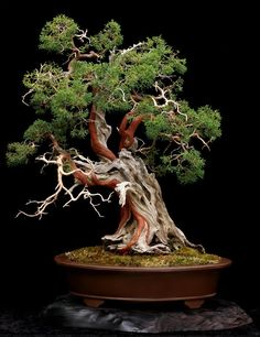 (Sierra Juniper with Shimpaku Juniper foliage grafted on. Original grafts by Roy Nagatoshi, with design and development by Dan Robinson.)