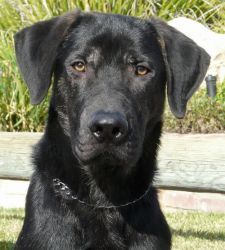 Westlake Village, CA:  Traveler - a 3 year old male Black Lab/Plott hound mix - is black with brindle legs, and has eyes that make you want to melt: Crate trained/house broken, Traveler gets along well with other dogs and he is very loving with people... and he LOVES to play with his toys and is eager to earn treats!
