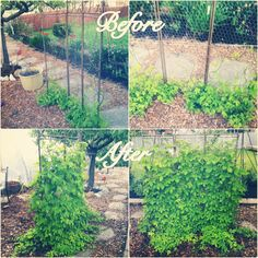 Garden privacy fence out of beer hops