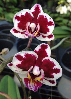 Moth-orchid: Phalaenopsis Yushan Little Pearl (Ho's Little Caroline x Chian Xen Pearl)