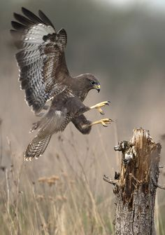 Buzzard by KEITH BURTONWOOD, via 500px