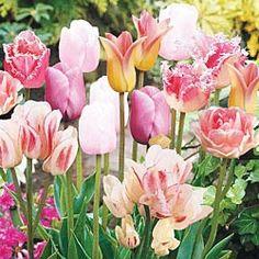 Season-Long Pink Tulip
