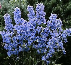 Delphinium belladonna 'Cliveden Beauty' 7 flower