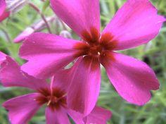 star-shaped phlox...affability