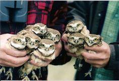 baby owls! @Sheridan Osborne