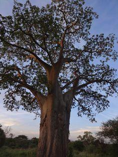African Baobab (Andansonia digitata) in Tanzania