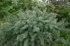 Salix purpurea 'Nana' - litet rödvide
