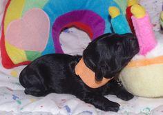"""Make a Wish""  1 week old Labradoodle Puppy, Olympic Labradoodles Jovi's Orange Boy."