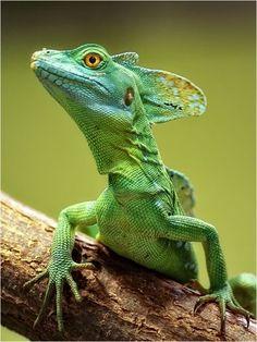 Green Basilisk Lizard (Basiliscus plumifrons) Costa Rica Les Reptiles, Cute Reptiles, Reptiles And Amphibians, Mammals, Beautiful Creatures, Animals Beautiful, Animals And Pets, Cute Animals, Terrarium Reptile