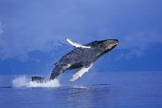 Young Humpback Whale Breaching in Frederick Sound : Custom Wall Decals, Wall Decal Art, and Wall Decal Murals | WallMonkeys.com