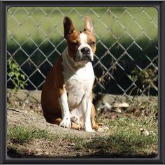 Bailey #bostonterrier #bostonterriercult #bostonterrierpuppy #balljunkie #bostonterrierlife #bestfriend #boatonterrierpics #ilovemybostonterriers #bostonbuddies #redbostonterrier #bostonterrierqt #aplacetolovedogs  #bostonterrierfaces #bostonterrierexpressions #bostonterrierpersonalities #lifeanddog #bostonterrierwho_me_look #Padgram