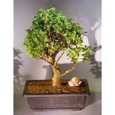 Bonsai Boy's Baby Jade Bonsai Tree Portulacaria Afra$295.00: www.amazon.com/Bonsai-Boys-Baby-Jade-Portulacaria/dp/B004XBO43Q/?tag=sure9600pneun-20