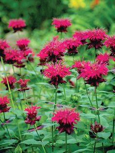 "fall  Monarda didyma Raspberry Wine Bee Balm, Bergamot, Oswego Tea         Type: Perennials Height: Medium 30"" (Plant 14-18"" apart) Bloom T..."