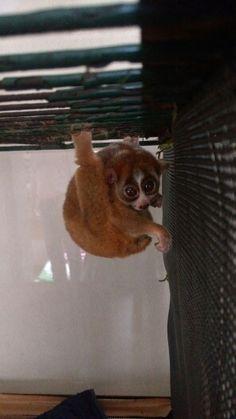 えぽきち2015 Slow Loris, Fox, Animals, Animales, Animaux, Animais, Lemur, Foxes, Animal