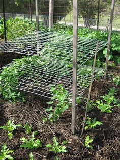 Gardening Tomato THE HOMEMADE TRELLIS - You can't grow healthy tomato without a tomato trellis or cages. Read this if you need plans and ideas to build a DIY trellis/cages in your garden. Tomato Trellis, Diy Trellis, Garden Trellis, Tomato Cages, Trellis Ideas, Trellis Design, Veg Garden, Tomato Garden, Fruit Garden