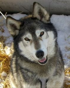 Tamaskan puppies | Tamaskan Dogs. Wolf in them or not?