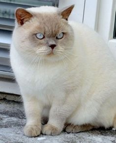 White british shorthair cats for sale