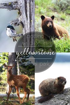 Yellowstone is vast, so you need to be in the right places at the right times to spot wildlife. Want to know what those are? Read this article and find out!