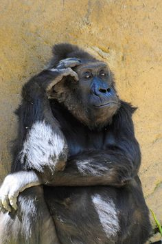 hmmmm.... | Flickr - Photo Sharing! #gorilla