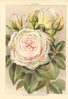 Souvenir de la Malmiason, Beautiful Roses, (England, 1903) botanical print