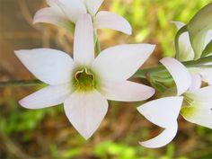 Orchid: Dendrobium barbatulum