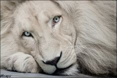 White lion Haldir: look into your soul by *woxys on deviantART