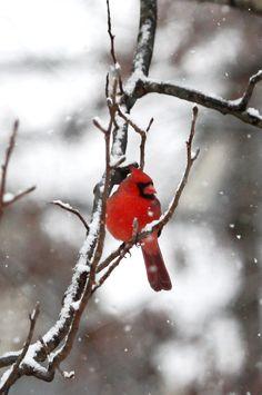 Cardinal on a snowy branch, taken by my dear friend Emmi, in her backyard bird sanctuary.