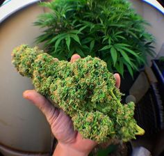 Looking to start a career in cannabis? Get certified at the premier cannabis certification program! Cannabis Training University is the most affordable and informative cannabis college in the world. Learn how to grow weed from cannabis cup winning growers. Anyone can enroll from anywhere. Learn on your own schedule, any time, day or night. No prior experience or education required. The leading marijuana school is CTU! Over 100 cannabis videos, and 50 cannabis e-books! www.thectu.com