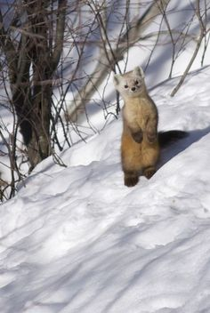 A weasel perched up on the snow.