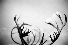 antlers-black-and-white-deer-horns-Favim.com-193806.jpg (500×333)