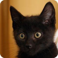 Walnut Creek, CA - Domestic Shorthair. Meet Strom a Kitten for Adoption.