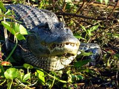 Everglades Day Safari   See Florida's wildlife in it's natural habitat, by airboat rides, wildlife drives and boat rides in and throughout the Gulf of Mexico and surrounding everglades. Fort Myers Beach FL.