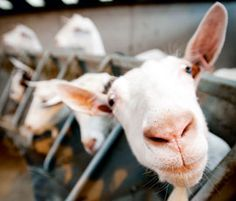 Milking goats can be profitable
