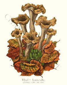 'Black Chanterelle' restored antique mushroom illustration - via Charting Nature