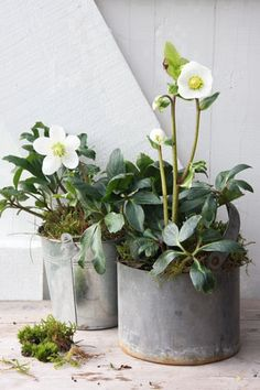 Hellebores in tins for winter interest