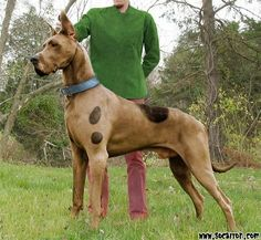 The REAL Scooby-Doo!! I LOVE Great Danes!!!